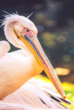Pelican. Bird closeup, (Pelecanus onocrotalus stock photography