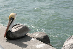 Pelican bird. Closeup of a pelican bird resting in the sun with the sea in the background Stock Images