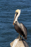 Pelican bird Royalty Free Stock Image