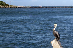 Pelican bird. At the dock with river in the background Royalty Free Stock Images