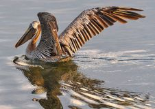 Pelican, Bird, Fauna, Seabird royalty free stock images