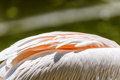 Pelican Bird Feathers Royalty Free Stock Image