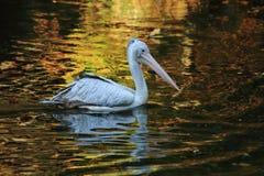 Pelican bird on the autumn lake. Pelican bird is fishing on the autumn lake Royalty Free Stock Image