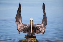 Brown Pelican. Landing on a moss covered rock in water with outstretched wings.  Looks like a maestro on football referee calling a field goal good Royalty Free Stock Photo