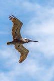 Pelican bird in flight over ocean under blue sky Stock Image