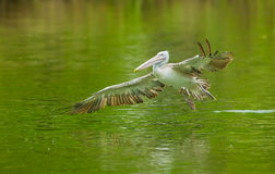 Pelican bird flying. The pelican bird flying and landing to the pool Royalty Free Stock Image