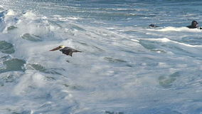 Pelican Bird Flying Low Over an Ocean Wave in Slow Motion Royalty Free Stock Images