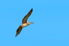 Pelican bird flying. In the sky Stock Photos