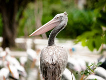 Pelican bird Stock Photography