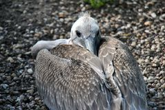 Pelican bird having its beak between its feathers stock image