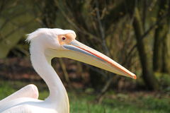 Pelican Bird. Stock Image