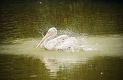 Pelican Bird On The Lake. A Pelican bird spotted splashing water on the lake Stock Photography
