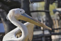 Pelican bird with long beak Royalty Free Stock Images