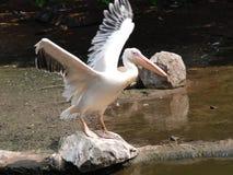 Pelican bird open wing. A pelican bird with open wings Royalty Free Stock Photos