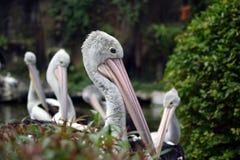 Pelican bird Pelecanus conspicilatus Stock Photography