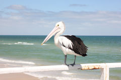 Pelican bird. Photo image with  sea and white pelican bird Royalty Free Stock Photo
