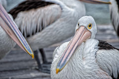 Pelican bird portrait close up Royalty Free Stock Images