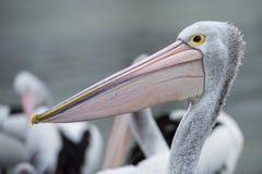 Pelican bird portrait close up Stock Image