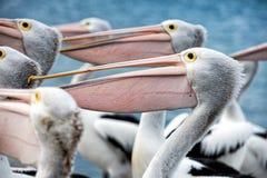 Pelican bird portrait close up Royalty Free Stock Photos