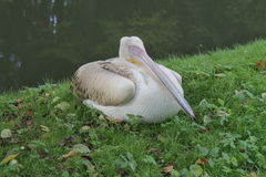 Pelican. Bird resting, but monitor the environment Royalty Free Stock Image