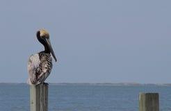 Pelican bird by sea Royalty Free Stock Photos