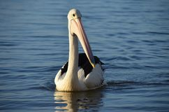Pelican, Bird, Seabird, Beak Royalty Free Stock Photos