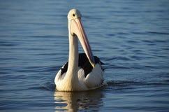 Pelican, Bird, Seabird, Beak royalty free stock photos