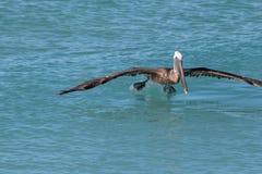 Pelican, Bird, Seabird, Fauna stock photos
