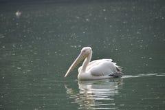 Pelican, Bird, Seabird, Water royalty free stock image