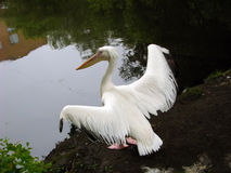 Pelican bird on the shore of  pond. Pelican bird on the shore of the pond spread her wings Stock Photo