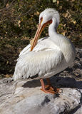Pelican Bird Stock Photo