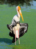 Pelican bird with spread wings. Stood in lake Royalty Free Stock Images