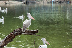 Pelican bird standing on timber. On waterfront Royalty Free Stock Photos
