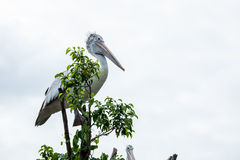 Pelican bird standing on top of tree Stock Photo