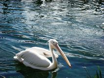 Pelican Bird swiming in the lake. Sunny day and calm water Royalty Free Stock Photography