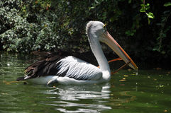 Pelican Bird Swimming on lake Royalty Free Stock Photos