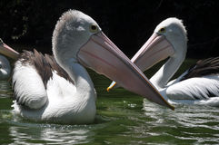 Pelican Bird Swimming on lake Royalty Free Stock Photo
