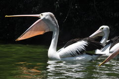 Pelican Bird Swimming on lake Stock Photography