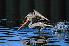 Pelican bird taking off. Side view of a pelican bird taking off from a lake Stock Photos