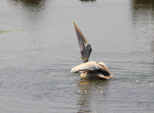 Pelican bird Stock Photos