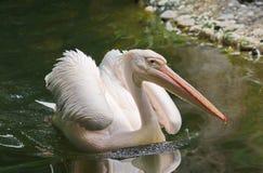 Pelican bird wildlife background. Nature Stock Photography