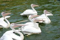 Pelican birds Royalty Free Stock Photos
