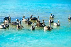 Pelican birds in Caribbean Mexico. Pelican birds swimming in Caribbean beach of Mexico Stock Image