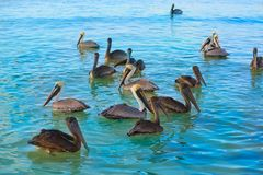 Pelican birds in Caribbean Mexico. Pelican birds swimming in Caribbean beach of Mexico Stock Photo