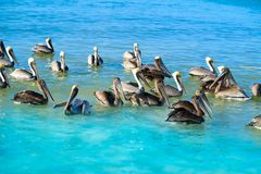Pelican birds in Caribbean Mexico. Pelican birds swimming in Caribbean beach of Mexico Royalty Free Stock Photo