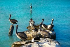 Pelican birds in Caribbean pier Mexico. Pelican birds in Caribbean pier of Mexico Stock Photos