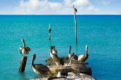 Pelican birds in Caribbean pier Mexico. Pelican birds in Caribbean pier of Mexico Royalty Free Stock Photos