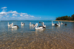 Pelican Birds Close Blue Lagoon. Group of pelican birds in a group swimming in shallow clear blue water inside the shallow of a river lagoon. Photo image Stock Photography