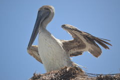 Pelican birds fauna tropical yucatan exotic Mexico Stock Photography