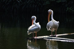 Pelican birds Royalty Free Stock Photo